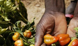 Pepper crops were developed to adapt to a hot climate, sandy soil and little water in the village of Launi, Niger.
