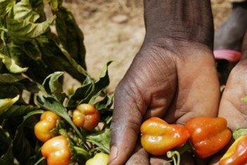Au Niger, des plants de poivrons développés pour s'adapter à un climat chaud, à des sols sableux et à de faibles précipitations.
