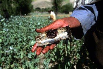 Récolte dans un champ d'opium de Badakhshan, en Afghanistan.