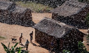 Locusts can affect the food security of millions of people.