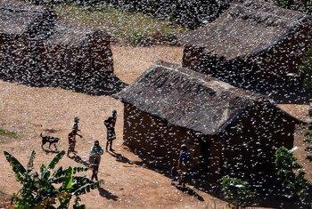 Gafanhotos podem afetar a segurança alimentar de milhões de pessoas.