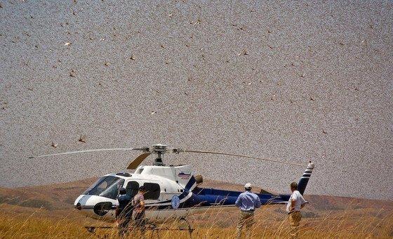 FAO está usando helicópteros na África para realizar operações de combate à praga