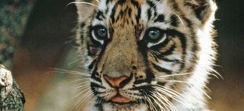 Тигры нуждаются в защите Фото ООН/Джон Айзек