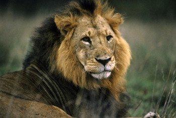 Simba anaangalia mazingira yake nchini Kenya.