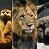 La explotación, caza y comercio ilícito de la vida silvestre ha puesto a muchas especies en riesgo de extinción.