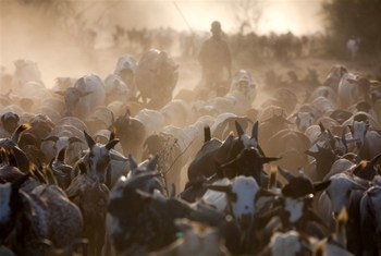 Pastoralists and their cattle.