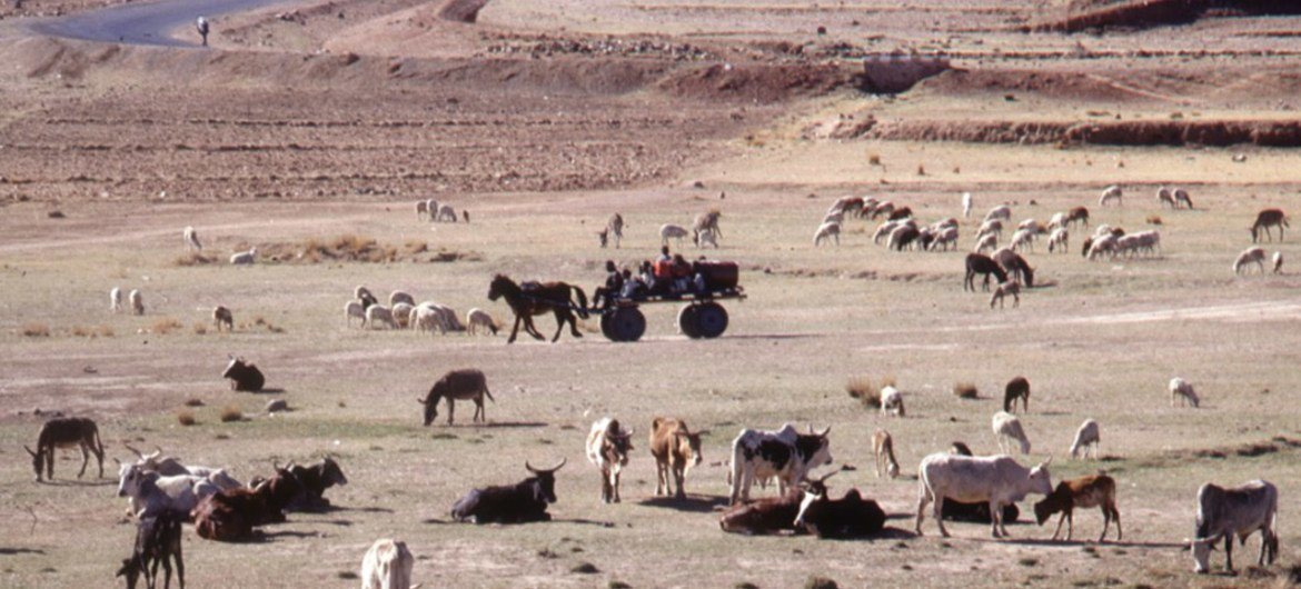Livestock can play an important role in both adapting to climate change and mitigating its effects on human welfare.