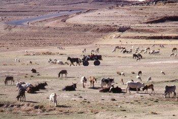 Le bétail peut jouer un rôle important dans l'adaptation aux changements climatiques. Photo FAO/Roberto Faidutti