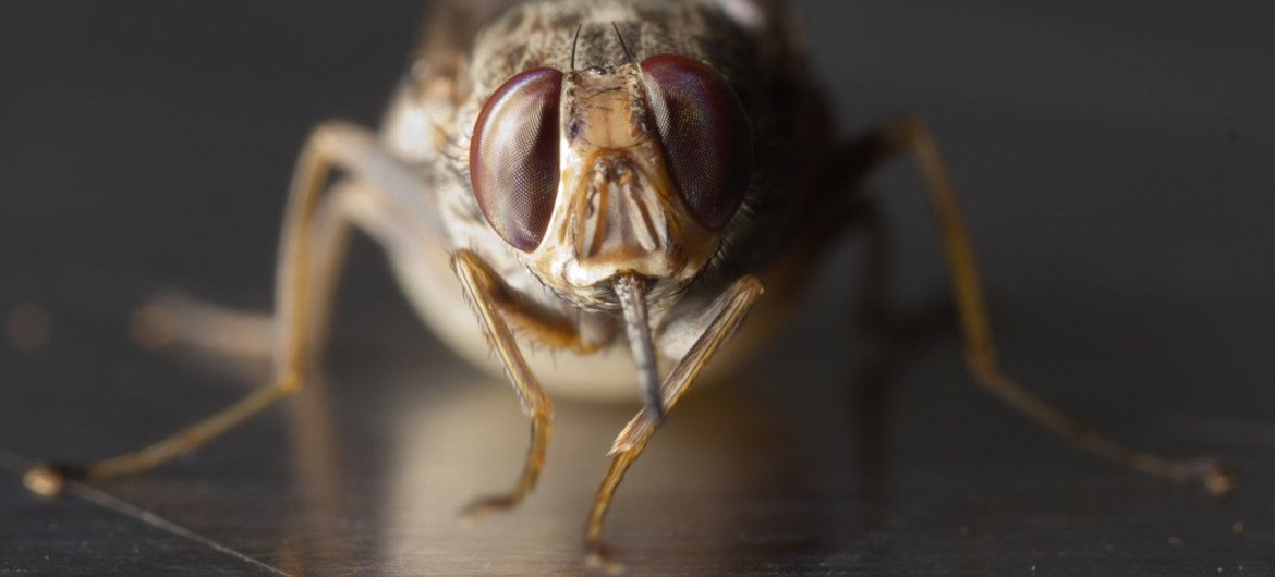 A bite from a parasite-carrying tsetse fly can cause trypanosomiasis in animals and sleeping sickness in humans.