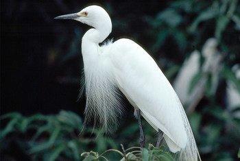 印度迈索尔鸟类保护区内的白鹭。