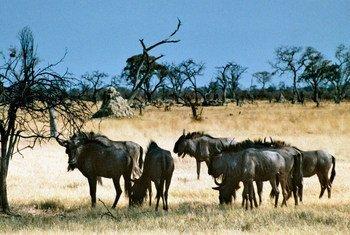 赞比亚的野生动物。联合国图片/E Darroch