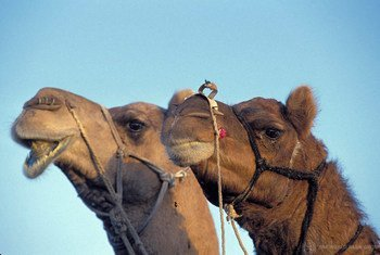 Camels in particular are suspected in spreading the MERS virus.
