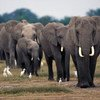 Elephant poaching and ivory smuggling levels remain alarmingly high in Africa.