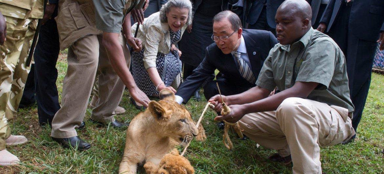 Secretary-General Ban Ki-moon visits Nairobi National Park Orphanage and adopts Tumaini, a lion cub.