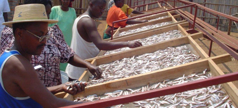 The use of raised drying racks has exploded along the shores of Lake Tanganyika.