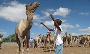 A boy redirects a camel at Hargeisa Livestock Market in Somalia, a facility constructed by FAO with UK funding.