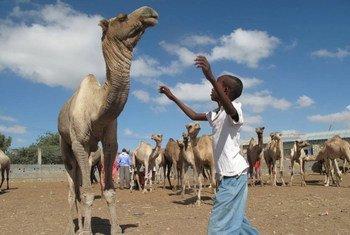 Un garçon redirige un chameau au marché de bétail d'Hargeisa en Somalie - une installation construite par la FAO avec un financement du Royaume-Uni.