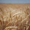 La producción de cereales disminuirá en 2016 en América Latina, según la FAO. Foto: FAO/Danfung Dennis