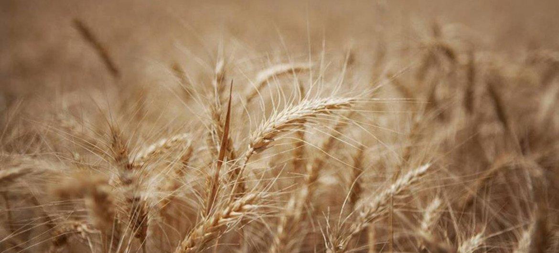 Après deux années consécutives de bonnes récoltes, les stocks mondiaux de céréales devraient atteindre leur plus haut niveau en 15 ans.