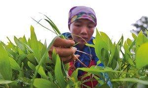 A worker weeding in a nursery in Back Kan, Viet Nam.