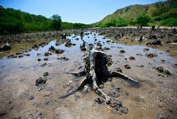 Mangroves détruites à Hera, au Timor-Leste. Photo : ONU/Martine Perret