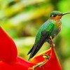 Pájaro de brillante de corona verde en un bosque en Costa Rica. Foto: UNEP GRID Arendal/Peter Prokosch