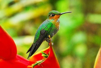 The Green-crowned Brilliant in Costa Rica