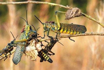 Criquets à Madagascar. Photo PNUE/Peter Prokosch