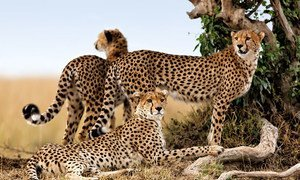A Cheetah mother with her two cubs in Kenya. (Image used under license from Shutterstock.com)