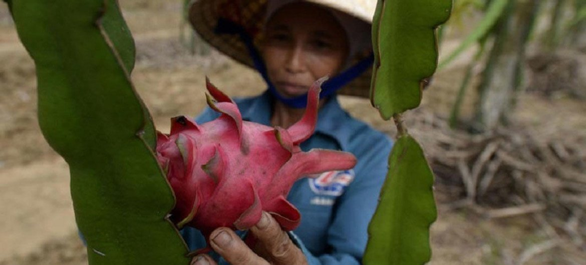 A farmer at work in a dragon fruit field in Viet Nam (July 2013).