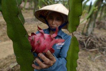 Une agricultrice dans un champ de fruits du dragon au Viet Nam (juillet 2013). Photo : FAO / Hoang Dinh Nam