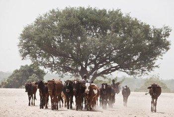 Les succès récents montrent que les problèmes liés à la désertification et la dégradation des terres ne sont pas insurmontables. Photo : FAO/Giulio Napolitano