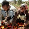 Farmers sort tomatoes in the Horn of African country Ethiopia.