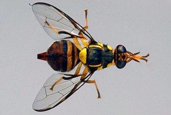 Une mouche des fruits. Photo USDA/Scott Bauer