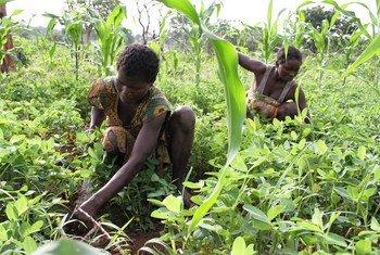 Des agriculteurs dans leur champ en République centrafricaine. Photo FAO/A. Masciarelli
