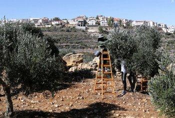 Des agriculteurs palestiniens font la récolte des olives avec une colonie israélienne en toile de fond. Photo : Archives de l'UNRWA / Alaa Ghosheh