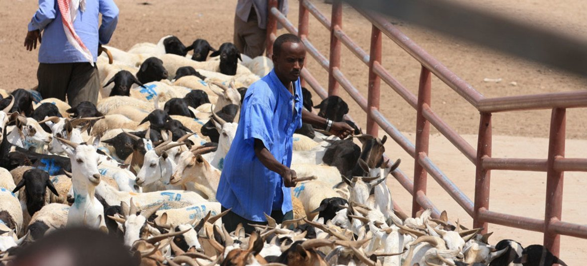 A farmer with his livestock at th e Hargeisa Livestock Market in Somaliland.
