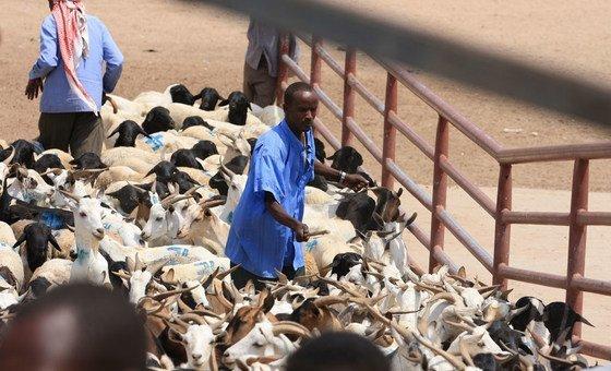 مزارع  يرعى ماشيته في هرغيسا في سوق للمواشي بأرض الصومال.