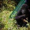在刚果民主共和国东部放归新栖息地的一只大猩猩孤儿。 由于栖息地的丧失和整个地区的冲突,健康的大猩猩种群正变得越来越孤立。