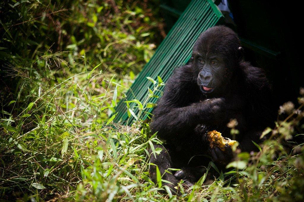 Un gorille orphelin relâché dans son nouvel habitat, dans l'est de la République démocratique du Congo. Les populations de gorilles en bonne santé sont de plus en plus isolées en raison de la perte d'habitat et des conflits qui sévissent dans la région.