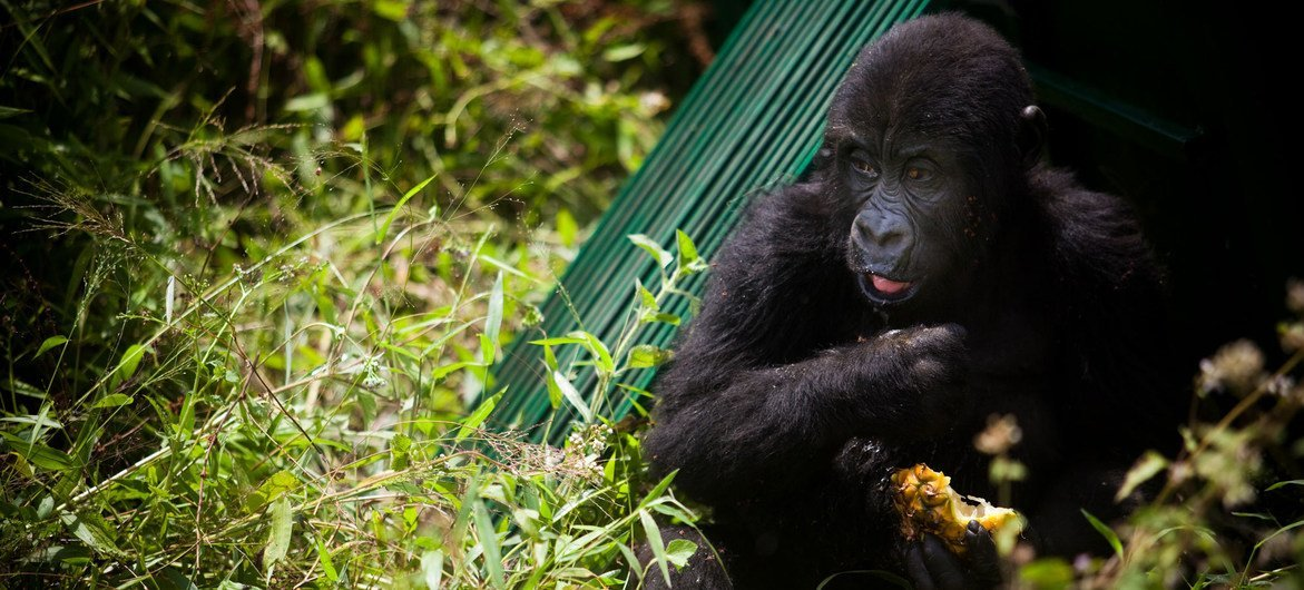An orphaned gorilla released in its new habitat, in eastern Democratic Republic of Congo. Healthy gorilla populations are becoming increasingly isolated due to habitat loss and conflict across the region.