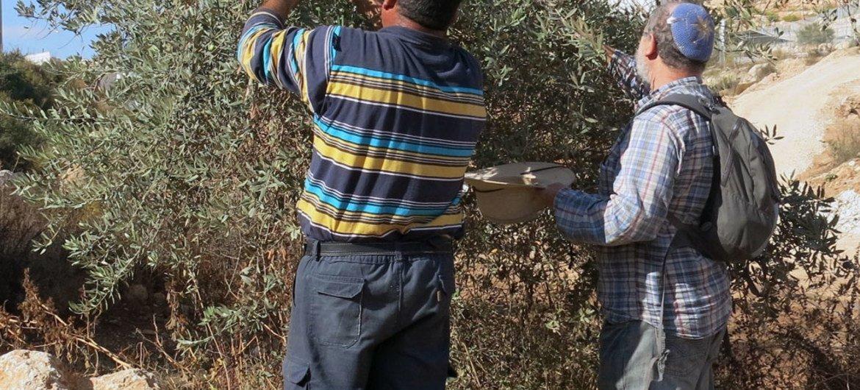 Израильтяне и палестинцы вместе собирают  оливки в спорном районе.  Фото ИРИН/Анни Слемрод