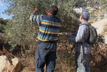 Un Israélien et un Palestiniens cueillent ensemble des olives dans une zone contestée. Si les Palestiniens sont souvent attaqués par des colons israéliens lorsqu'ils cueillent des olives, certains Israéliens prennent également le parti de les défendre. Photo : IRIN/Annie Slemrod
