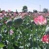 阿富汗南部种植的罂粟。