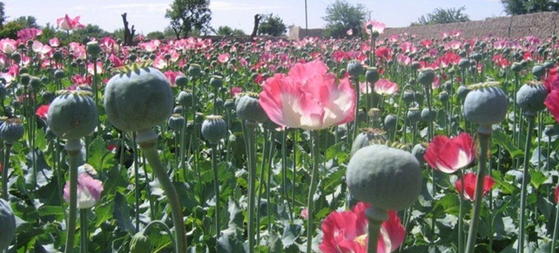 Плантация опийного мака в Афганистане. Фото IRIN/Абдулла Шахин