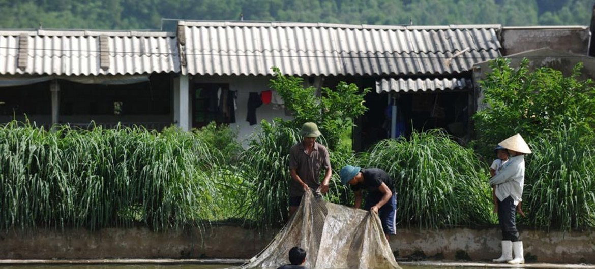 In Ha Trung, Viet Nam, farmers use a net to catch fish from a pond at their farm.