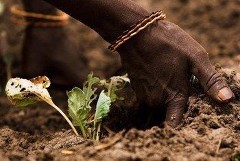 Los suelos sanos son necesarios para la producción de alimentos. Foto: FAO/Olivier Asselin