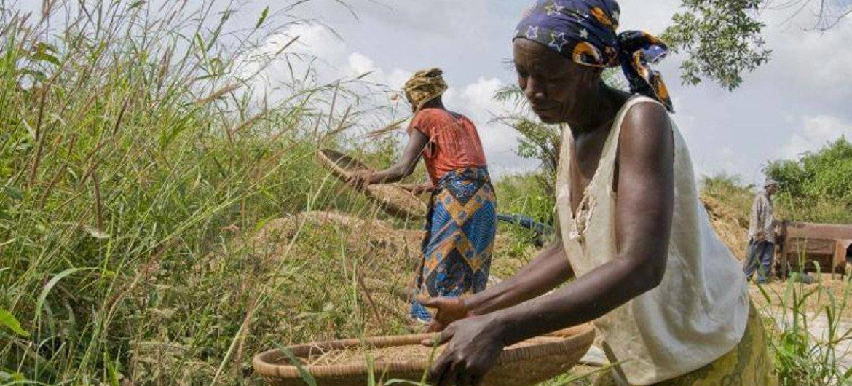 Des fermiers en Sierra Léone, un des pays les plus durement affecté par l'épidémie d'Ebola.