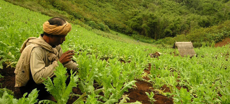 Opium poppy field, Myanmar.
