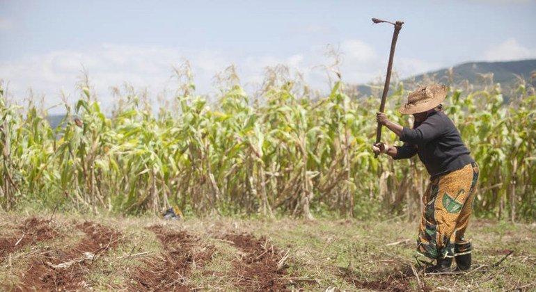 Un agricultor trabaja en plantaciones de maíz. Foto: FAO/Giulio Napolitano